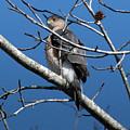 Cooper's Hawk by TJ Baccari