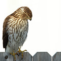 Coopers Hawk by William Bader