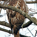 Coopers Hawk Winter by Steve Gass