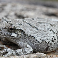 Cope's Gray Tree Frog #5 by Judy Whitton