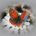 Copper Glow - Butterfly by MTBobbins Photography