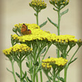 Copper On Yellow - Butterfly - Vignette 2 by MTBobbins Photography