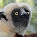 Coquerel's Sifaka Lemur by Savannah Gibbs