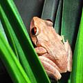 Coqui In Bromeliad by Thomas R Fletcher