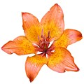 Coral Colored Lily Isolated On White by Taiche Acrylic Art