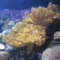 Coral  by Miss McLean