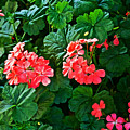 Coral Geraniums At Pilgrim Place In Claremont-california   by Ruth Hager