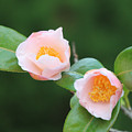 Coral Camellia 2 by Marta Robin Gaughen