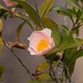 Coral Camellia by Marta Robin Gaughen