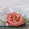 Coral Rose by Kim Hojnacki