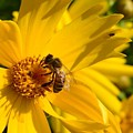 Coreopsis Beauty And The  Bee. by Vonda Barnett