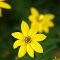 Coreopsis by Jean Macaluso