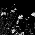 Coreopsis by JGracey Stinson