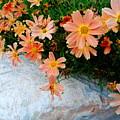 Coreopsis Sienna Sunset by Lyssjart Sj