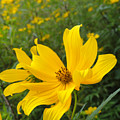 Coreopsis by Trish Hale