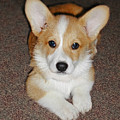 Corgi Puppy Lying Down by Laurie With