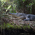 Corkscrew Swamp - Really Big Alligator by J Darrell Hutto