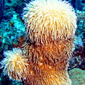Corky Sea Finger Coral - The Muppet Of The Deep by Amy McDaniel