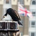 Cormorant Adult Phalacrocorax Carbo by Jacek Wojnarowski