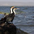 Great Rift Cormorants by Aidan Moran