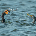 Cormorant Fish Fight by KenDidIt Photography