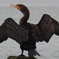 Cormorant In Bellingham by Karen Molenaar Terrell