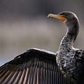 Cormorant In Morning Sun by Sue Harper