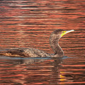 Cormorant On Autumn Red by Robert Frederick