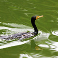 Cormorant by Randall Ingalls