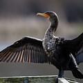 Cormorant by Sue Harper