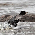 Cormorant Taking To The Air by Bob Kemp