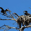 Cormorant Teenager In Nest Begging For Food by Gary Canant