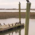 Cormorants At Murrells Inlet In Winter by MM Anderson