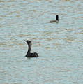 Cormorants On The Lake by Ruth Housley