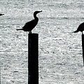 Cormorants Port Jefferson New York by Bob Savage