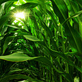 Corn Field by Carlos Caetano