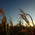 Corn Field In Sunset by Andrej Hruby