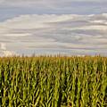 Corn Field In Sunset by Meg Porter