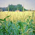 Corn Field  by Jill Battaglia