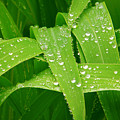 Corn Leaves After The Rain by James BO  Insogna
