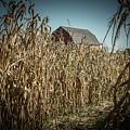 Corn Maze by Tim The Bikeman