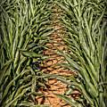 Corn Row by Patricia Montgomery