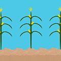 Corn Rows by Hannah Breidenbach