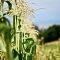 Corn Rows by Lori Leigh