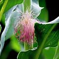 Corn Silk 2017 1 by Buddy Scott