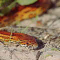 Corn Snake 2 by Aaron Rushin