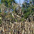 Corn Stalks Drying by Teresa Mucha
