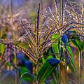 Corn Tassels by Black Brook Photography