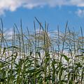 Corn Tassels In The Sky by Patti Deters