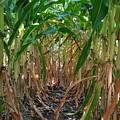 Corn Tunnel by Zac AlleyWalker Lowing